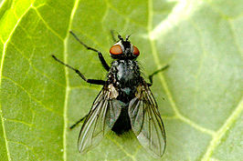 Blondelia nigripes