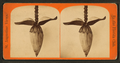 Blossom from the banana tree, from Robert N. Dennis collection of stereoscopic views.png