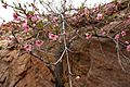 Blossoms in Zion National Park (3442933085).jpg