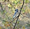 Blue Jay (183555761).jpeg