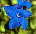 Blue flower in Austria.jpg