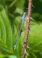 Blue tailed damselfly female.jpg