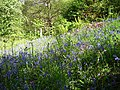 Bluebells, Pease Dean - geograph.org.uk - 234213.jpg