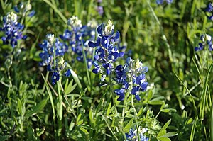 Lupinus texensis - Image: Bluebonnets