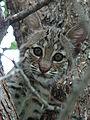 Bobcat-Texas-9135.jpg