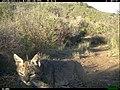 Bobcat (Lynx rufus)3 (24635343203).jpg