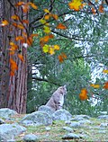 Bobcat in Yosemite (3042087575).jpg