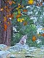 Bobcat in Yosemite (3042087575).jpg