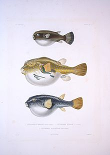 Bonite-poissons-pl10.jpg