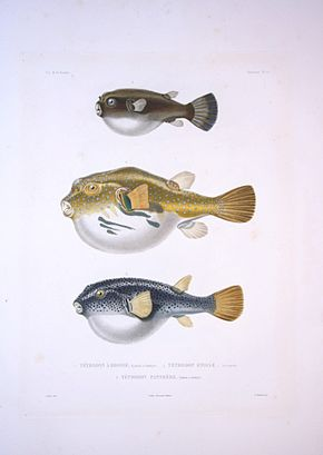 Description de l'image Bonite-poissons-pl10.jpg.