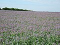 Borage Field - geograph.org.uk - 191721.jpg
