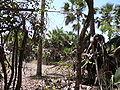Borassus aethiopum 0090.jpg