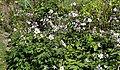 Border perennials in Victorian garden Quex House Birchington Kent England.jpg