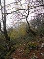 Bosque otoñal subiendo a la Mota de Cetin - panoramio.jpg