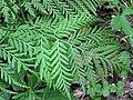 Botrypus virginianus (rattlesnake fern) (Natural Bridge State Park, northeast of Leland, Wisconsin, USA) 2 (19097790025).jpg