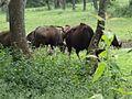 Bovines in coimbatore.jpg