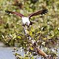 Brahminy kite 45 (7233343220).jpg