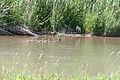 Branta canadensis - Canada geese 0187.jpg
