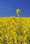 Brassica napus LC0027.jpg