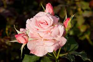 Double-flowered - Image: Bridal pink morwell rose garden