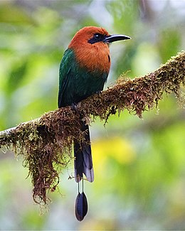 Broad-billed Motmot 2.jpg