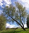 Broken Bough, Whinhill, Greenock - geograph.org.uk - 2479496.jpg