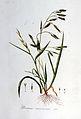 Bromus racemosus — Flora Batava — Volume v7.jpg