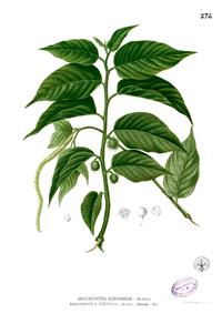 Broussonetia sp Blanco2.278