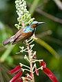 Brown-throated Sunbird (13893545478).jpg