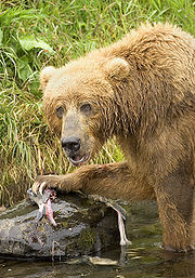 Brown Bear Feeding on Salmon 2.jpg