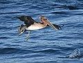 Brown Pelican (40078294044).jpg