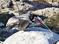Brown Pelican in Mating Plumage (2 of 2) (26122837547).jpg
