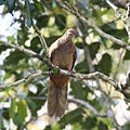 Brown pigeon 2 (22862538433).jpg