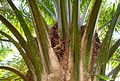 Buah kelapa sawit (49).JPG