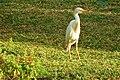 Bubulcus ibis (Tetrapoda).jpg