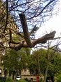 Bucuresti, Romania. Arborele Paulownia. Au inceput sa apara frunzele pe crengi aparent moarte. Aprilie 2017.jpg