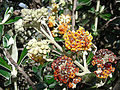Buddleja longifolia (8435407079).jpg
