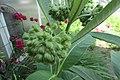 Buds -Milkweed 2016-06-09 003.jpg