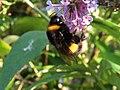 Buff-tailed Bumblebee (35742681635).jpg