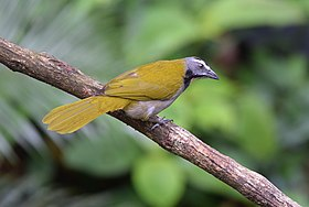 Buff-throated Saltator (24834629490).jpg