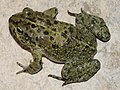 Arabian toad