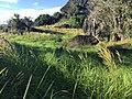Bukit Tengkorak cogongrass field 04.jpg