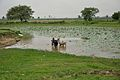Bulls Cleaning in Lotus Pond - Talit - Bardhaman 2014-06-28 5077.JPG