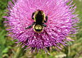 Bumble-bee-on-thistle-flower.jpg