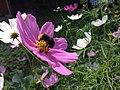 Bumblebee foraging nectar in a flower.jpg