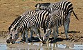 Burchell's Zebras (Equus quagga burchellii) (6829072847).jpg
