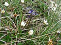 Burren Flora 33 Milkwort and Mountain Avens (3586418906).jpg