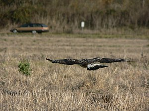 Rough-legged buzzard - The tail is white with a dark terminal band.