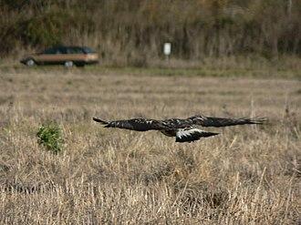 Rough-legged buzzard - The tail is white with a dark terminal band.