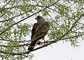 Buteo swainsoni, Ladd Marsh Wildlife Area, La Grande, Oregon 2.jpg